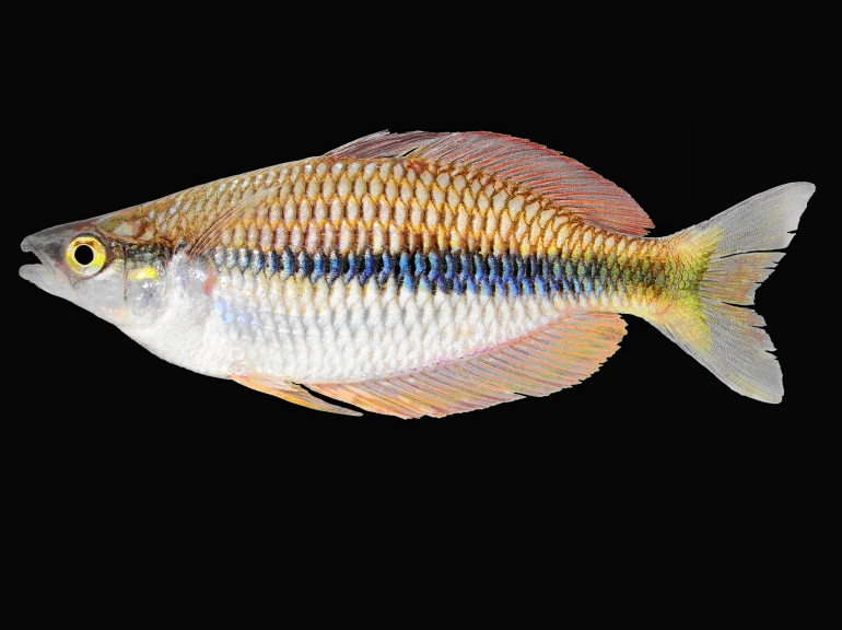 Eight new species of Rainbowfishes from the Birds Head Region, West Papua, Indonesia