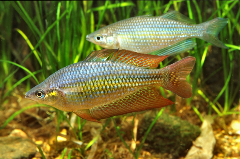 eastern rainbowfish melanotaenia splendida