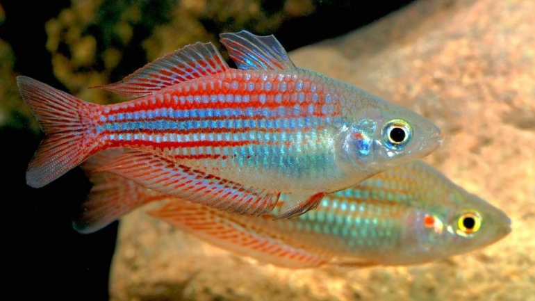 Melanotaenia utcheensis for Dwarf rainbow fish
