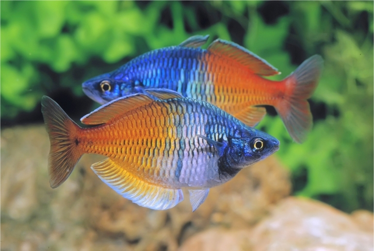 Kolkata aquarium club view topic boesemani for Dwarf rainbow fish